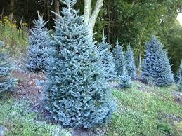 Frasier Christmas Tree by Cartner Christmas Tree Farm Buy Wholesale