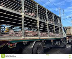 Pig In A Truck Stock Photo. Image Of Driving, Shipping - 72915924 Toms Bbq Pig Rig Phoenix Food Trucks Roaming Hunger Our Second Food Truck Is Complete The Red Truffle A High Farmer John Pig Transport From Colorado To California 3104 Benjamin Radigan Elegant Truck Transport Semi Trailer Suppliers And Out Pigouttruckiowa Twitter Hauling Thousands Of Pigs Overturns On I40 Blocking Lanes Dog 96000 Prestige Custom Manufacturer Proper Smokehouse Inspired By Owners Vacation Pig Food Truck Its Seattle I Must Go Jolly Baltimore Sun