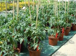 coeur de en pot planter tomate coeur de boeuf planter des tomates with planter