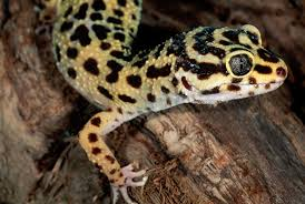 Do Leopard Geckos Shed by Gecko Tail Loss And Regrowth