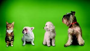 Small Dogs That Dont Shed by Top 10 Puppies That Don U0027t Shed Dog Care The Daily Puppy
