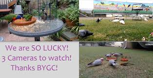 Loving Our New Cam Views! - Backyard Galah Cam Live Cams Page 64 Backyard Galah Cam Loving Our New Views Cuddles Chevys Birthday Myphotos Parks Birds And Wildlife A In The Sams Gingerbread Man Watching Galahs Bruces Birds 13 Look At 12 10 Most Beautiful In Evans Head Nsw Youtube Springtime Oklahoma Australian Magpies Splashing Around At Goulburn