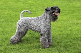Dogs That Dont Shed Their Fur by Medium Sized Dogs That Don U0027t Shed Much And Won U0027t Make You Sneeze