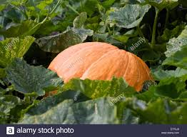 Atlantic Giant Pumpkin Taste by Giant Pumpkin Competition Stock Photos U0026 Giant Pumpkin Competition