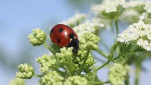 Attracting Insects To Your Garden by Attracting Beneficial Bugs To Your Garden Youtube