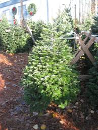 Nordmann Fir Christmas Trees Wholesale by Contact Me