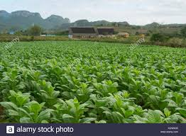 Tobacco Fields Vinales Cuba