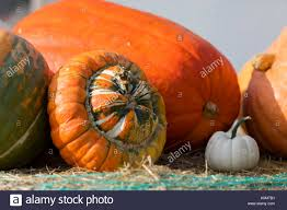 Types Of Pumpkins And Squash by Various Types Of Ripe Autumn Pumpkins On The Farm As Pleasing Fall