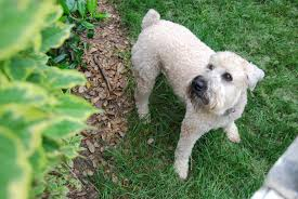Do Irish Wheaten Terriers Shed by Wheaten Terrier Blog March 2011