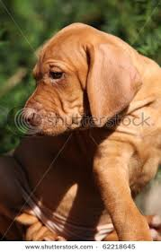 When Do Vizslas Shed Their Puppy Coat by Vizsla Shorthaired Breed Information History Health Pictures