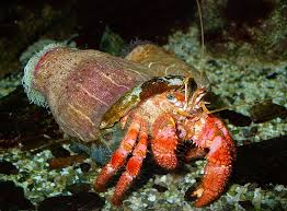 Halloween Hermit Crab by Abcs Of Animal World The Most Beautiful And Distinctively