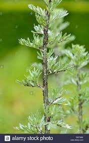 Christmas Tree Aphids by Grand Wormwood Stock Photos U0026 Grand Wormwood Stock Images Alamy