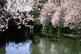 Weeping Cherry Trees Produce Pink Or White Blossoms In Spring