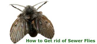 sewer flies how to get rid of sewer flies