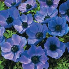 kaipara coast plant centre aorangi bulbs anemones blue poppy bulbs