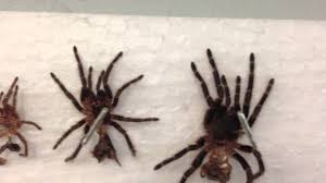 Do Tarantulas Shed Their Legs by G Pulchripes Chaco Golden Knee Molt Youtube