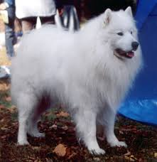 American Eskimo Shedding Problem by Samoyed Dog Wikiwand