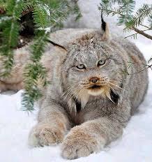 snow cat what a beautiful snow cat soti npc