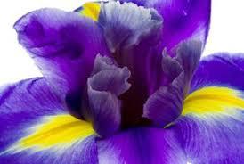 when to plant iris bulbs home guides sf gate