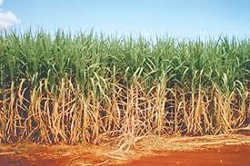 Cuba To Diversify Sugarcane Output