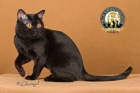 bombay cats breed profile the bombay