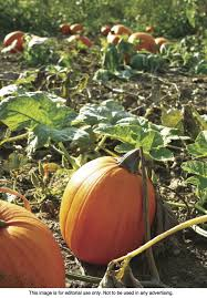 Keep Pumpkins From Rotting On Vine by Grow Pumpkins Right At Home 521 Words Us Uk Can News