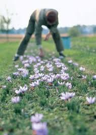 how to grow saffron vegetable gardener