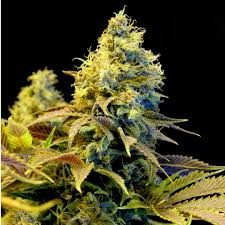 Northern lights XTRM In the Northern Lights strain you will find