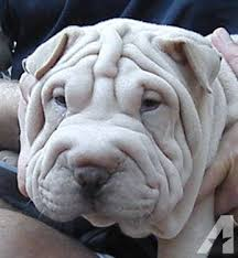 Do Mini Shar Peis Shed by Akc Wrinkly Platinum Mini Shar Pei Boy Puppy For Sale In Palatka
