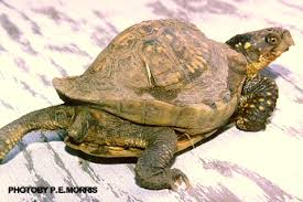 Turtle Shell Not Shedding Properly by Box Turtle Health