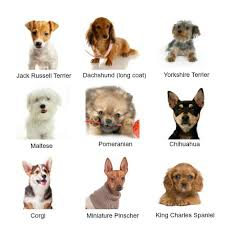 Hypoallergenic Non Shedding Small Dog Breeds by Types Of Small Dogs