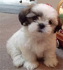 best 25 miniature dogs ideas on pinterest fluffy dog breeds