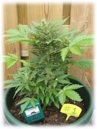 acheter de graines de cannabis headshop