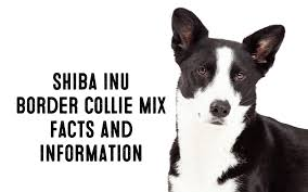 Do Blue Heeler Border Collies Shed by Shiba Inu Border Collie Mix U2013 Information And Facts My First