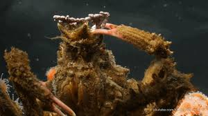 decorator crabs eat fish decorator crabs make high fashion at low tide look kqed