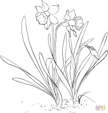 Narcissus Pseudonarcissus Or Wild Daffodil Lent Lily From