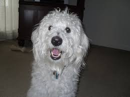 Dogs That Dont Shed Hair Ireland by 100 Dogs That Dont Shed Labradoodle Labradoodle Facts