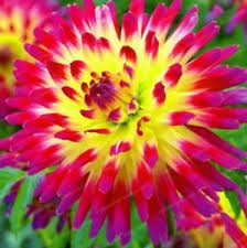 free shipping us 2pcs dahlia ungu semebyar flower bulbs not seeds