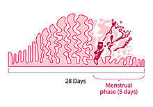 shedding uterine lining before period menstruation