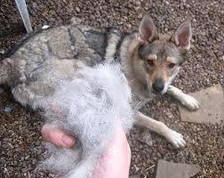 corso excessive shedding shedding my dogs