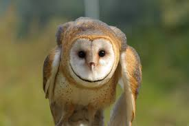 The Raptors | Barn Owl Watch The Secret To Why Barn Owls Dont Lose Their Hearing 162 Best Owls Images On Pinterest Barn And Children Stock Photos Images Alamy Owl 10 Fascating Facts About Species List Az 210 Birds Drawing Photographs Of Cave By Tyler Yupangco 312 Beautiful Birds
