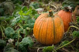 Chesterfield Berry Farm Pumpkin Patch 2015 by Specialty Crops Central Virginia Ag Spotlight