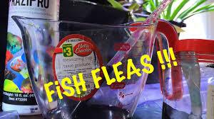 Fish Flukes Parasites Signs Treatment