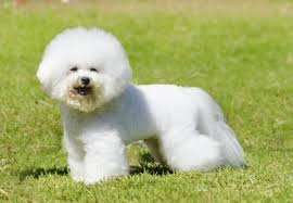Do All Dogs Shed Their Fur by Most Popular Hypoallergenic Non Shedding Dog Breeds