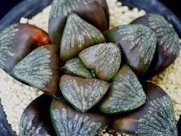 plats cuisin駸 多肉植物 ハオルチア ブラックレイン 親苗 haworthia