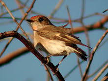 red capped robin wikipedia