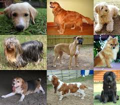 30 Dog Breeds That Shed The Most by Dog Wikipedia