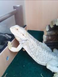 Bearded Dragon Shedding Behavior by Does This Guy Have Yellow Fungus U2022 Bearded Dragon Org