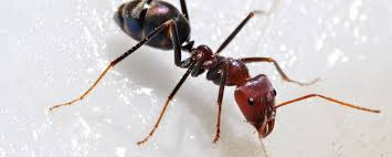 Flying Ants In Bathroom Window by Invaded By Ants How To Get Rid Of Them In Natural Way Pest