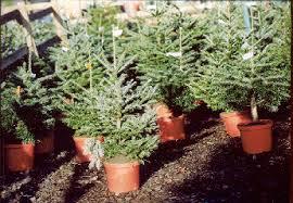 Plantable Christmas Trees For Sale by Christmas Tree Farm Potted Christmas Trees Amersham Chalfont